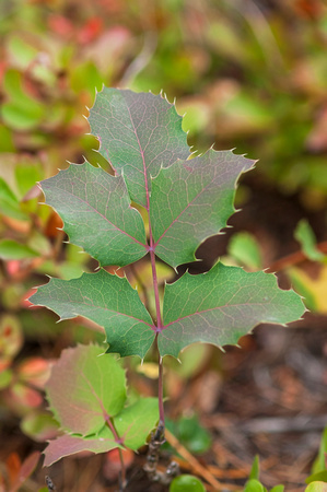Oregon Grape_JF01168