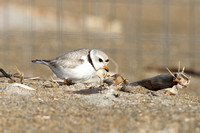 PipingPlover_JF94680