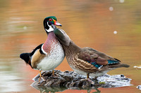 WoodDuckPair_JF06170