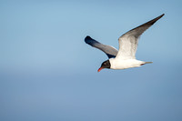 LaughingGull_JF94252